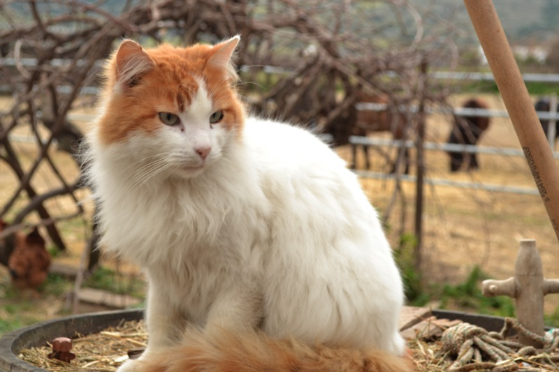 skyros-farm-cat